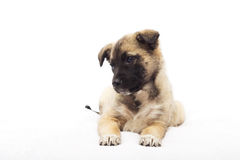 Beige puppy looking Stock Images