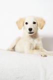 Beige puppy looking Stock Image