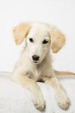 Beige puppy looking Royalty Free Stock Photos