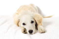 Beige puppy looking Stock Photos