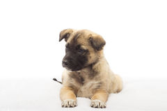 Beige puppy looking Royalty Free Stock Photo