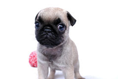 Beige puppy Mopsa. The beige puppy Mopsa costs and stares Royalty Free Stock Image