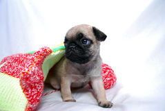 The beige puppy Mopsa gets out from under a plaid Stock Photos