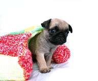 The beige puppy Mopsa gets out from under a woolen plaid on a white background, separately Royalty Free Stock Photos