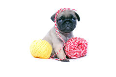 The beige puppy Mopsa plays with yarn balls. It is isolated on a white background. The beige puppy Mopsa played with a ball of threads and got confused. Sits and Royalty Free Stock Image