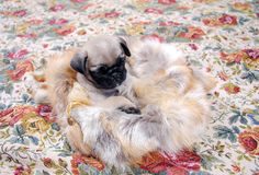 The beige puppy Mopsa sits in a bag from fox fur. Beige puppy Mopsa, playing, has got into a bag from fox fur. Sits in heat Stock Photos