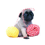 The beige puppy Mopsa sits with yarn balls Stock Photos