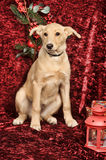 Beige puppy pooch on burgundy background Stock Photos