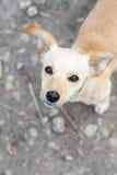 Beige puppy portrait Stock Images