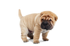 Beige puppy of sharpei Stock Photos