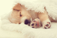 Beige puppy sleeps Stock Image