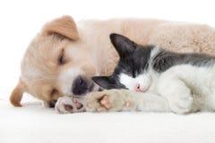 Beige puppy sleeps Stock Images