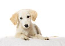 Beige puppy watching Stock Image