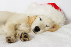 Beige puppy Royalty Free Stock Photos