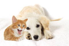 Beige puppy and yawning kitten Royalty Free Stock Photography