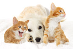 Beige puppy and yawning kitten Stock Photo