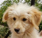 Beige puppyhond Royalty-vrije Stock Foto