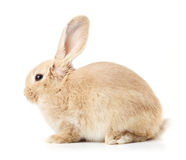 Beige rabbit  Royalty Free Stock Image