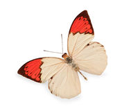 Beige and red butterfly isolated. On white Royalty Free Stock Photo