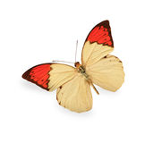 Beige and red butterfly isolated on white stock photos