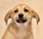 Beige with red cute puppy Stock Photos