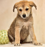 Beige with red cute puppy Stock Photo
