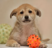 Beige with red cute puppy Stock Images