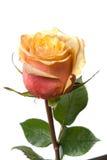 Beige rose Stock Photo