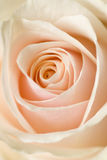 Beige rose Stock Photo