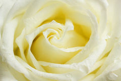 Beige rose close up Stock Image