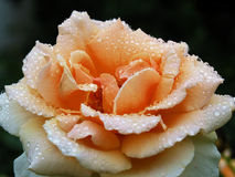 Beige rose in the dew Stock Image