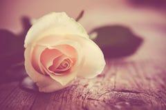 Beige rose Royalty Free Stock Photos