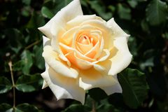 The beige rose in the garden Stock Images