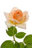 Beige rose Stock Photos