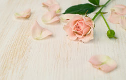 Beige rose with petals Royalty Free Stock Image