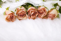 Beige roses Stock Images