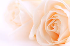 Beige roses Royalty Free Stock Photography