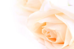 Beige roses royalty free stock photos