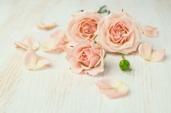 Beige roses with petals royalty free stock image