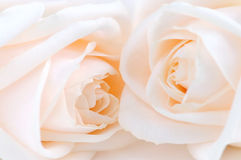 Beige rozen Royalty-vrije Stock Foto's