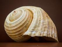 Beige Seashell Stock Images