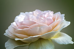 Beige soft rose. Close-up on blurred background Stock Photos