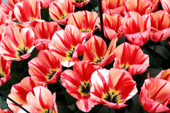 Beige tulips with red stripes Royalty Free Stock Images