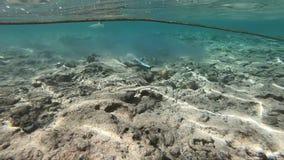 Beige und blaues Stechrochenschwimmen im seichten Wasser nahe dem Strand, Zeitlupe stock footage