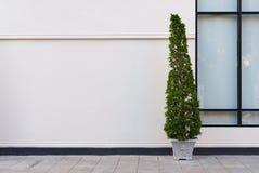 Beige vägg med den gröna växten i kruka Royaltyfri Foto