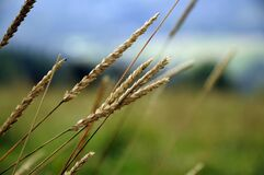 Beige Weeds in a Field of Grass Stock Images