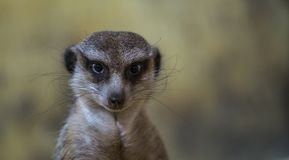 Beige and White Meerkat Stock Photography