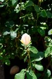 Beige white opening rose blossom - Garden flowers blooming in the summer. Beige white rose bud on the bush - Garden in the summer stock photography