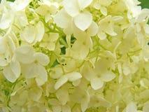 Beige witte hydrangea hortensia dichte omhooggaande oppervlakte Stock Foto's