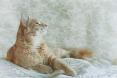Beige young cat looking up Stock Photos